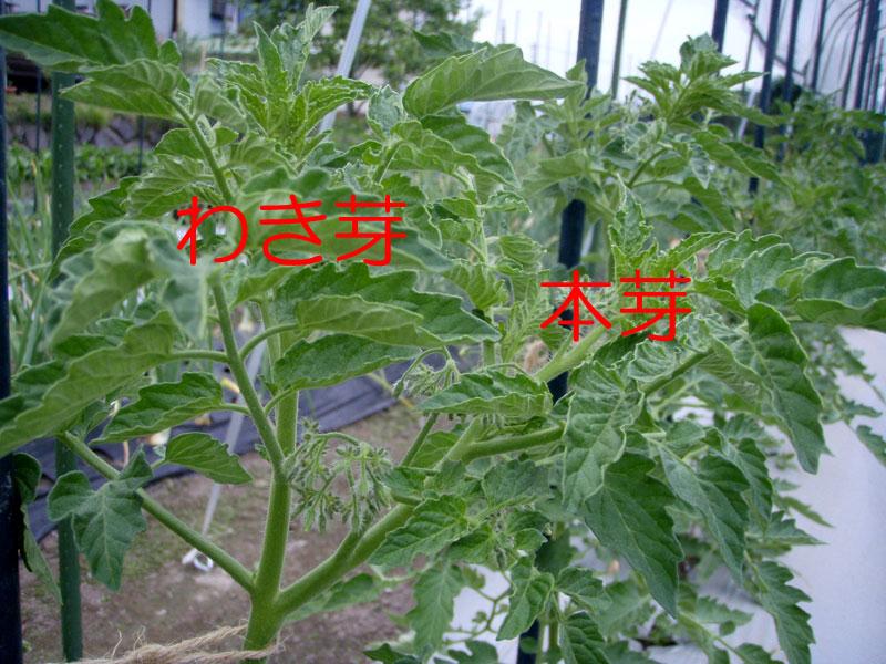 トマト 本 ミニ 仕立て 2